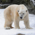 bykxiuwoe_Julie_Larsen_Maher_2900_Polar_Bear_BB_BZ_01_07_11_card