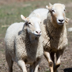 Nearby: Sheep-to-Shawl Festival at Philipsburg Manor